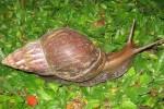 MUI: Bekicot Haram, Tutut dan Kepiting Halal