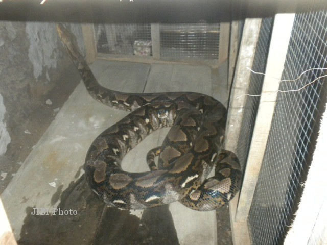 Ilustrasi ular piton (Dok/JIBI/Solopos)