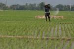 PERTANIAN GUNUNGKIDUL : Tanam Padi Serentak di 15 Hektare Sawah