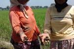 PERTANIAN GUNUNGKIDUL : Petani Kwalahan Tangani Serangan Hama Keong Mas