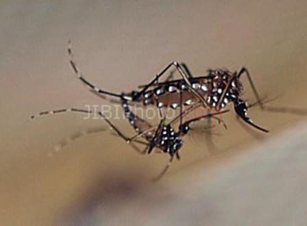 Ilustrasi nyamuk penyebar demam berdarah. (JIBI/Solopos/Dok.)