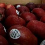 Ilustrasi apel impor (Dok/JIBI/Solopos/Antara)