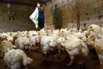 Musim Hujan, Flu Burung Merebak Mungkin Terjadi