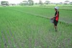 Ilustrasi lahan pertanian (Dok/JIBI/SOLOPOS)