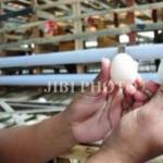HARGA KEBUTUHAN POKOK : Telur Ayam Capai Rp19.000 Per Kilogram