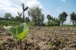 bibit tembakau-klaten-05072013-Shoqib Angriawan-Solopos