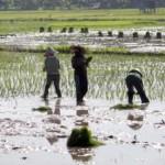PERTANIAN SLEMAN : Pemkab Canangkan  Aplikasi Data Tunggal Pertanian