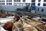 Pekerja memindahkan sapi impor asal Darwin, Australia dari kapal ke truk pengangkut di Pelabuhan Tanjung Priok, Jakarta, Selasa (30/7). Sampai akhir Agustus 2013, pemerintah akan mendatangkan 40 ribu ekor sapi siap potong melalui Pelabuhan Tanjung Priok untuk menstabilkan harga daging sapi dalam negeri.