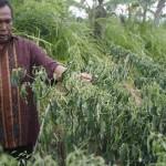 Puluhan Hektare Cabai Dimusnahkan karena Busuk