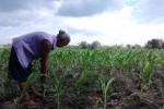 Ilustrasi tanaman jagung (JIBI/Harian Jogja/Dok)