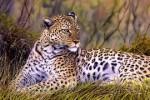 Macan Tutul Dibunuh Gara-Gara Serang Warga Hingga Tewas