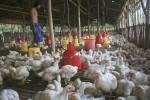 Ayam Hanyut Diterjang Banjir, Peternak di Bantul Rugi hingga Rp300 Juta