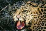 macan-tutul