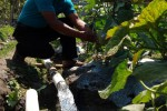 MELON : Pasokan  Minim, Petani Melon Panen Lebih Awal