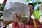 KASUS DBD KULONPROGO : Cegah DBD, Manfaatkan Drainase untuk Pelihara Ikan