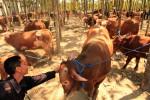PANEN SAPI : 22.000 Ekor Sapi di Boyolali Siap Potong