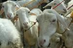 Iluatrasi kambing hewan kurban (JIBI/Harian Jogja/Antara)