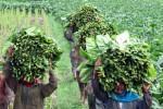 Petani Tembakau DIY Gugat Forum Jogja Sehat Tanpa Tembakau