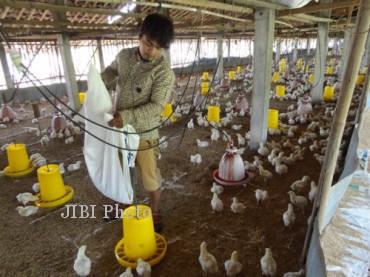 Karyawan peternakan ayam pedaging di Desa Pandeyan, Kecamatan Grogol, Sukoharjo, memberi makan ayam yang baru berusia sekitar sepekan, Selasa (3/9/2013). (Dian Dewi Purnamasari/JIBI/Solopos)