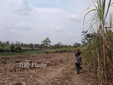 Seorang buruh penebang tebu, Sukimin, melintasi perkebunan tebu yang akan ia panen, di Kecamatan Tangen, Sragen, Rabu (18/9/2013). (Ika Yuniati/JIBI/Solopos)