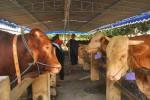 PETERNAKAN BOYOLALI : 2 Hari, 59 Sapi Unjuk Keunggulan di Kontes Ternak Jateng