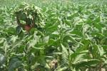 PERTANIAN BANTUL : Produksi Tembakau Anjlok