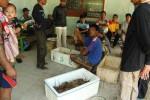 Nelayan menimbang lobster hasil tangkapannya di TPI Pantai Baron, Minggu (10/11/2013).(JIBI/Harian Jogja/Kusnul Isti Qomah)