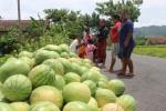 ANOMALI CUACA : Produksi Semangka Susut 25%