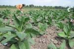 PERTANIAN KARANGANYAR : Petani Colomadu Pilih Jual Tembakau Rajangan