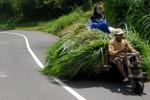 FOTO GEROBAK LUNCUR : Membawa Rumput Gajah