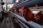 Peternakan Ayam (Dok/JIBI)