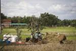 JIBI/Harian Jogja/Desi Suryanto  Sejumlah petani merontokkan bulir padi yang mereka panen di areal perasawahan di Pundong, Bantul, DI. Yogyakarta, Kamis (02/01/2014). Badan Pusat Statistik (BPS) DIY menyampaikan bahwa Nilai Tukar Petani (NTP) DIY pada Desember 2013 mencapai angka 103,15 atau mengalami penurunan sebesar 0,57% dibandingkan dengan indeks bulan sebelumnya. Sedang harga gabah kualitas GKP sebesar Rp 4.556 per kilogram di tingkat petani, atau turun 3,71% dari bulan sebelumnya.