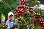 Ilustrasi tanaman kopi. (JIBI/Harian Jogja/Bisnis Indonesia/Rachman)