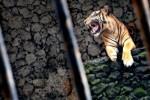 KISAH TRAGIS : Petani Diterkam Harimau Sumatra, Tinggal Tulang Belulang