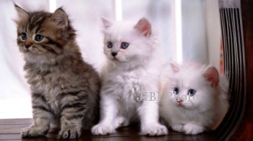 Kucing siam (cat-breed-info.com)