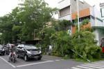 FOTO POHON TUMBANG : Tumbang Karena Lapuk