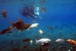 Wisatawan sedang menikmati keindahan bawah air di umbul Ponggok, Polanharjo, Klaten, Senin (13/1/2014). Keindahan bawah air di beberapa umbul (mata air) di Klaten mempunyai potensi yeng cukup besar untuk dikembangkan sebagai obtek wisata. (Sunaryo HB/JIBI/Solopos)