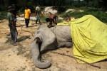 46 Gajah Mati Misterius dalam 3 Tahun