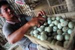 FOTO TELUR BEBEK : Menata Telur Bebek