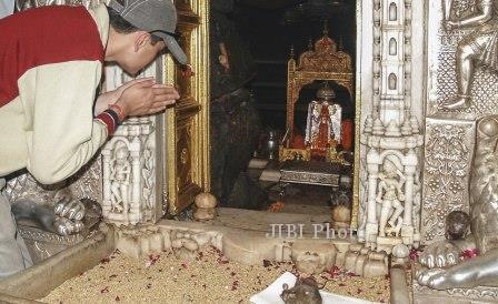 Seorang pengunjung Kuil Karni Mata berdoa di hadapan tikus (Dailymail.co.uk)