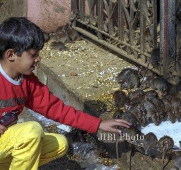 Seorang anak memperhatikan tikus-tikus yang tengah minum susu di Kuil Karni Mata (Dailymail.co.uk)