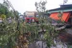 Dua pohon di Jl Ki Mangunsarkoro,(depan warung sate mbok galak) Sumber, Banjarsari, Solo tumbang saat hujan deras melanda, Kamis (13/2/2014). Akibatnya seorang pengendara sepeda motor mengalami patah tulang tertimpa pohon tersebut dan arus lalulintas macet total. (Sunaryo HB/JIBI/Solopos)