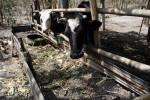 Ilustrasi hewan ternak (Dok/JIBI/Solopos/Antara)