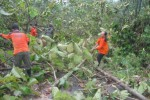 Anggota SAR Wonogiri memotong batang pohon yang menutup akses jalan kampung usai disapu angin ribut di Dusun Kedung Banteng RT 003/RW 004, Desa Sendangijo, Kecamatan Selogiri, Wonogiri, Sabtu (12/4/2014). (Trianto HS/JIBI/Solopos)