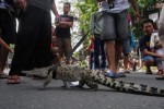 FOTO CAR FREE DAY : Hi! Pencinta Reptil Hela Buaya di Jalan