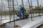 PANCAROBA : Petani Pilih Tanam Tomat Gara-Gara Harga Cabai Tak Menentu