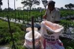 Tri Suharto, 39, petani di Desa Blimbing, Gatak, Sukoharjo, Jawa Tengah memupuk tanaman cabai merah dengan pupuk NPK Phonska yang dicairkan dengan air. Selasa (13/5/2014). Ketersediaan pupuk NPK merupakan harapan bagi para petani pada saat perawatan agar tanaman tumbuh kuat dan tidak mudah roboh. Sayangnya, kini pupuk jenis itu langka di pasar Soloraya. (Sunaryo Haryo Bayu/JIBI/Solopos)