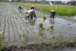 Sejumlah petani menanam padi di sawah (JIBI/Solopos/Iskandar)