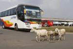 Sejumlah kambing berlalu-lalang di Terminal Bus Kartasura, Sukoharjo, Jawa Tengah, Rabu (4/6/2014). Sejumlah sopir bus selaku pengguna terminal itu mengeluhkan kondisi terminal yang kurang terawat sehingga menyebabkan sepi penumpang. (Ardiansyah Indra Kumala/JIBI/Solopos)