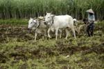 Ilustrasi sapi untuk membajak sawah (JIBI/Harian Jogja/Antara)